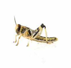 Desert grasshoppers subadult, 10 pieces, tin - feed material