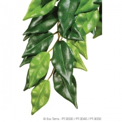 Ficus S Jungle Plant Seidenpflanze